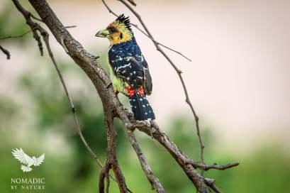 Crested Barbet, Kruger National Park, South Africa