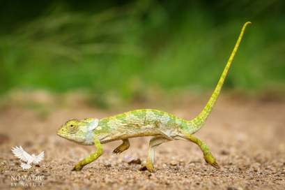 A Chameleon on the go, Kruger National Park, South Africa