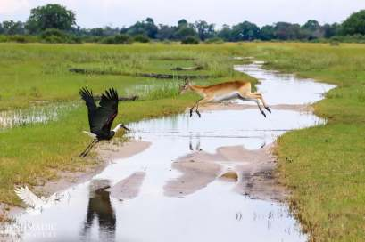 A Red Lechwe Leaping Over the Flooded Road, Jao Concession, Botswana