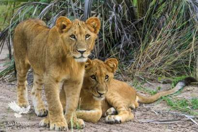Two Male Lion Cubs Unsure What to Think of Me, Jao Concession, Okavango Delta