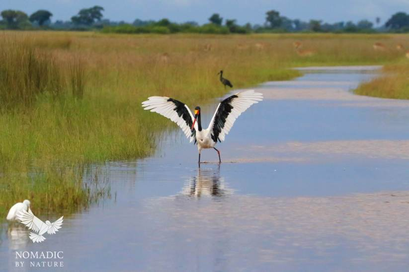 A Sadle Billed Stork Showing Off, Jao Concession, Botswana