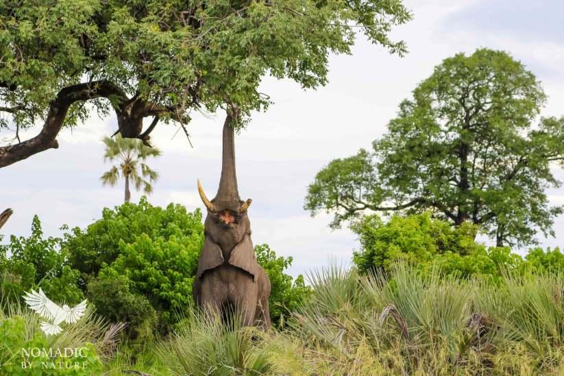 Bull Elephant Feeding on a Marula Tree, Jao Concession, Bostwana