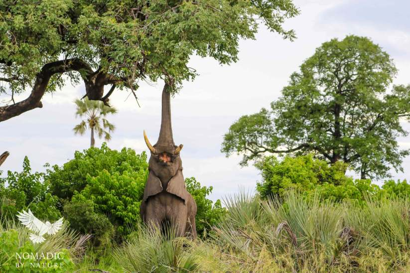 Bull Elephant Feeding on a Marula Tree, Jao Concession, Bostwana