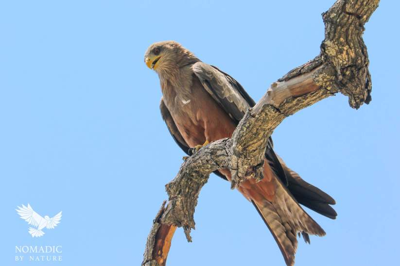 A Raptor in the Okavango Delta, Botswana