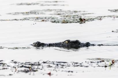 A Stealthy Crocodile on the Hunt, Okavango Delta, Botswana