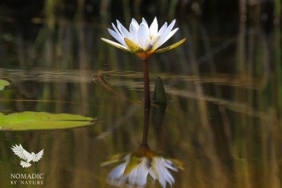 A Day Lilly in the Delta, Okavango Delta, Botswana