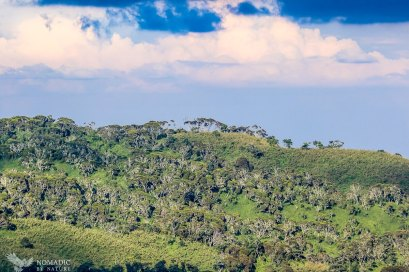 The Giant Heather Forests of the Rwenzori Mountains