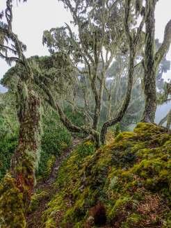 The Giant Heather of the Rwenzori Mountains