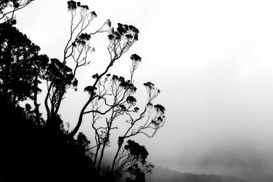 Silhouettes of Giant Heather of the Rwenzori Mountains