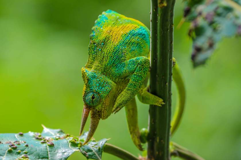 A Three Horned Chameleon, Rwenzori Mountains National Park