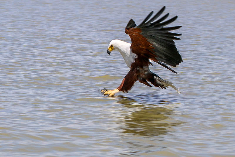 African Fish Eagle Swoops for a Fish