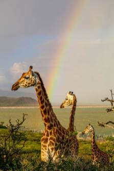 Rainbows and Giraffes at Lake Baringo