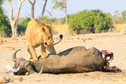 A Lion Stands on a Buffalo it Killed, Savuti, Botswana