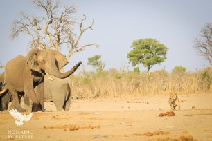 An Elephant Trumpets a Lioness Away, Savuti, Botswana