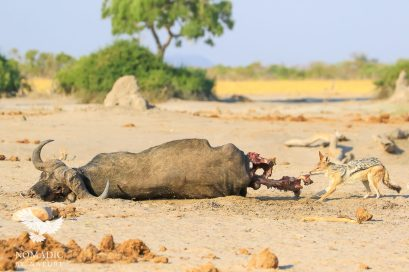 A Jackal Steals a Bite of Buffalo from the Lions