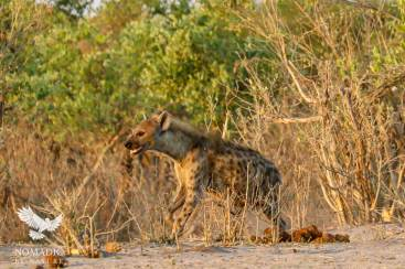 A Hyena Running Around the Perimeter of a Watering Hole, Savuti, Botswana