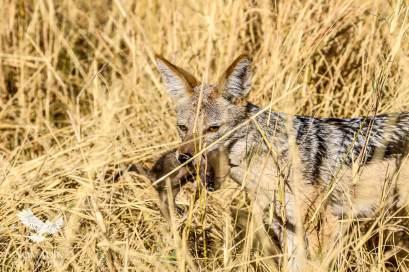 A Jackal Kills a Baby Hyena, Savuti, Botswana
