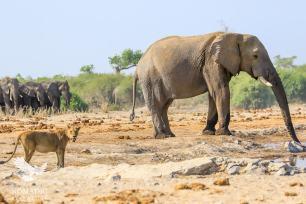 A Lioness and Elephant Drink Together, Savuti, Botswana