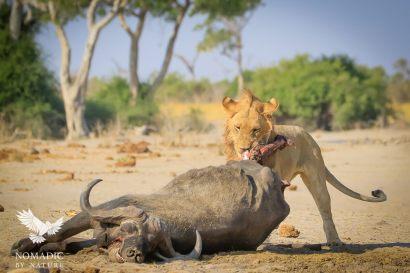 A Male Lion Tears at a Buffalo Leg, Savuti, Botswana