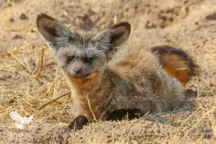 A Bat Eared Fox, Serengeti National Park, Tanzania