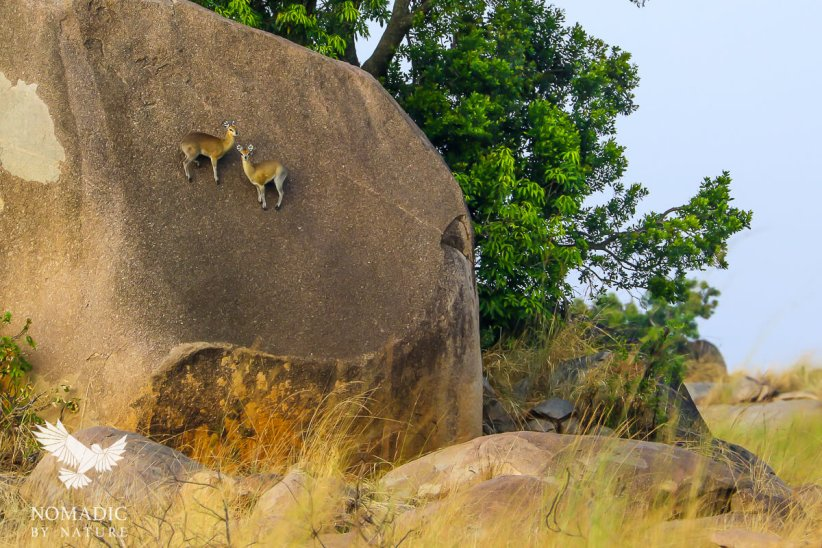 Klipspringers Impossibly Perched on a Boulder, Serengeti National Park, Tanzania