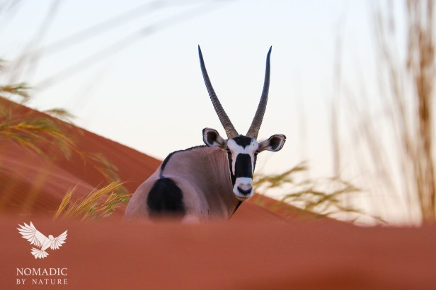 Stalking an Oryx in the Dunes, Sossusvlei, Namibia