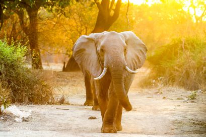 An Elephant Sauntering Towards me at Dawn, South Luangwa National Park, Zambia