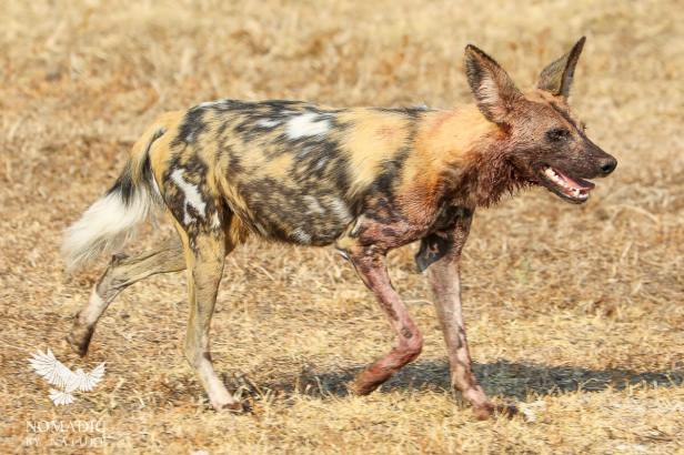A Painted Dog after Feeding, South Luangwa National Park, Zambia