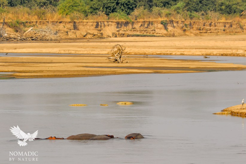 The Luangwa River, full of Hippos and Crocodiles, Zambia