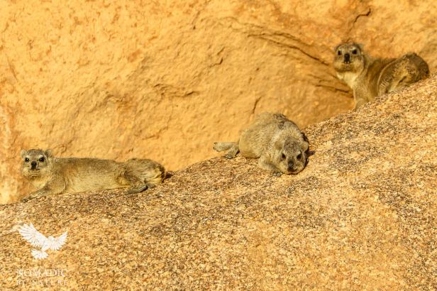 Rock Dassies Basking in the Dusk Light, Spitzkoppe, Namibia