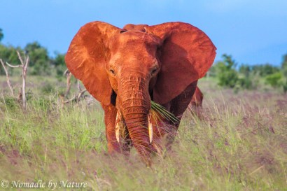 Red Elephant Sweeping the Plains, Taita Hills