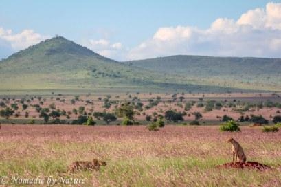 Cheetahs Greeting in the Grass, Taita Hills