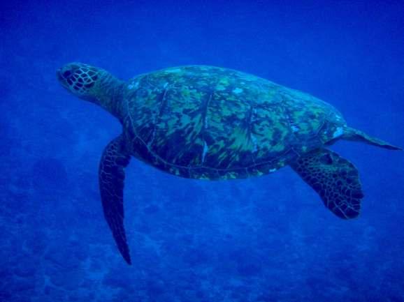 A Sea Turtle Glides Between Sea Mounts, Tanna Island, Vanuatu