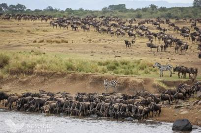 A Herd Stops for a Cool Drink from the Mara River