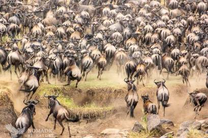 Wildebeest Get Spooked and Retreat up a River Bank
