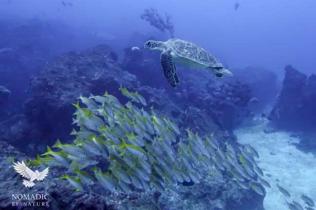 Green Turtle Cruising By, Scuba Diving, Tofo Beach, Mozambique