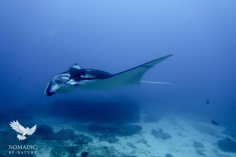Manta Ray Floats by Me, Scuba Diving, Tofo Beach, Mozambique