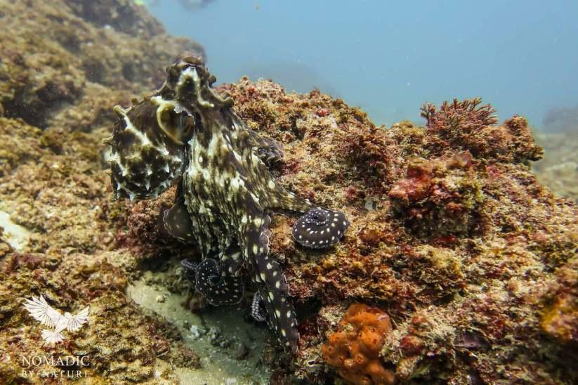 Octopus, Scuba Diving, Tofo Beach, Mozambique
