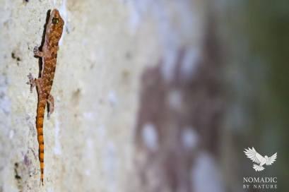 Red Gecko, Tsavo East, Kenya