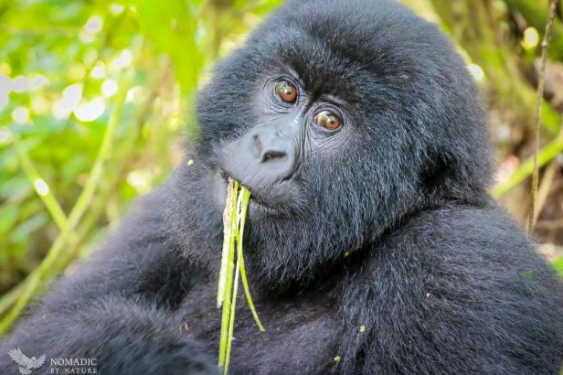 Juvenile Slurping Vines like Spaghetti, Virunga National Park, DR Congo