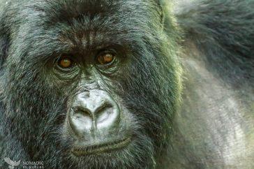 Mother Gorilla Sizing Me Up, Virunga National Park, DR Congo