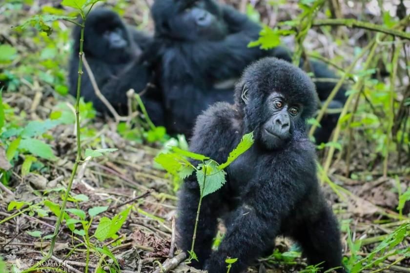 Baby Gorilla Sauntering Over to Me, Virunga National Park, DR Congo