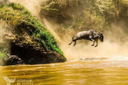 A Long Leap into the Mara River