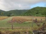 Pineapple fields, Antigua.