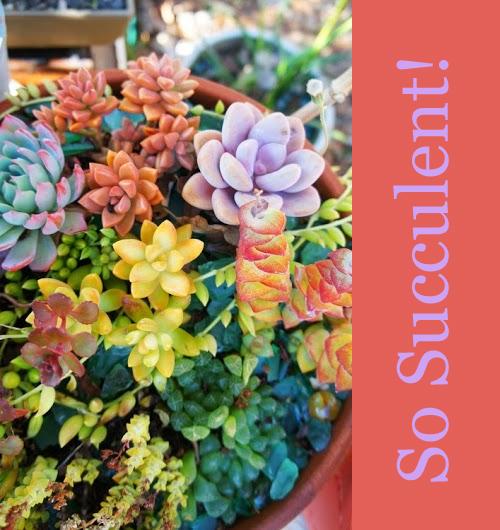 Fat-Pinchable-Succulents