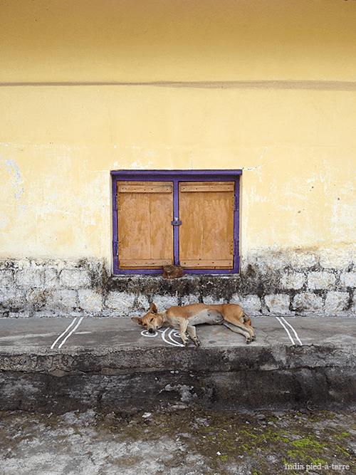 Osur Village Dog Resting
