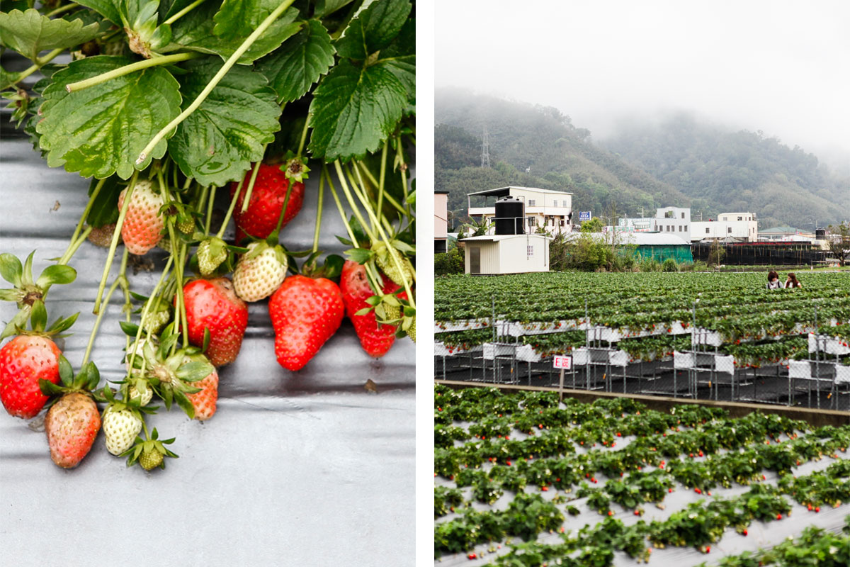 Strawberry Picking in Dahu, Taiwan
