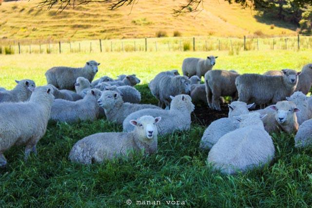 new zealander sheep