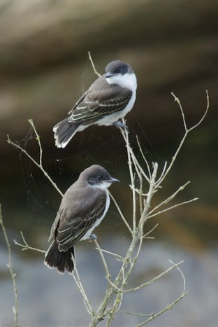 Walking in my usual haunt, these two fledgling Eastern Kingbirds suprised me--they were still in the nest the previous day.