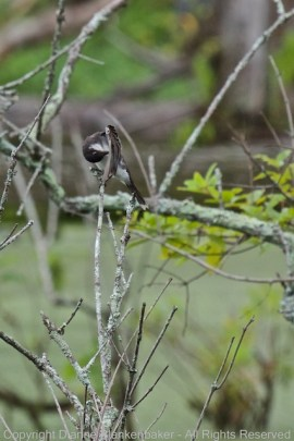 An Eastern Kingbird grooming at Curtain Pole Road marsh